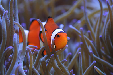 Predator and prey cnidaria for What do clown fish eat
